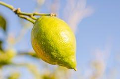 Lemon. Branch with a lemon, horizontal photo Stock Photography