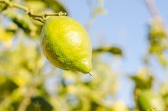 Lemon. Branch with a lemon, horizontal photo Royalty Free Stock Photography