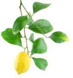 Lemon on a branch with leaves. Isolated on a white background Royalty Free Stock Photos