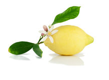 Lemon on a branch with leaves and a flower. 