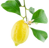 Lemon on a branch with leaves and a flower Royalty Free Stock Photography