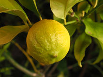Lemon on a branch Royalty Free Stock Images