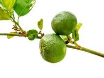 Lemon on a branch Royalty Free Stock Photo