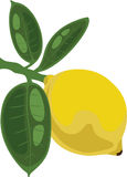 Lemon on a branch with leaves, vector illustration. Lemon on a branch with leaves, vector stock illustration