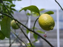 Lemon on a branch. In the Apothecary Garden in Moscow Royalty Free Stock Images