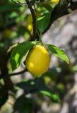 Lemon on a branch Royalty Free Stock Image