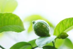 Lemon on branch Royalty Free Stock Photography