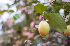 Lemon on the branch royalty free stock images