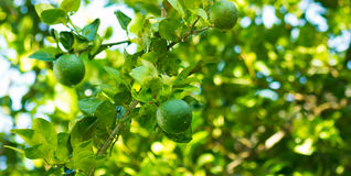 Lemon. On a branch with water droplets stick royalty free stock images