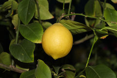 Lemon branch Royalty Free Stock Photography