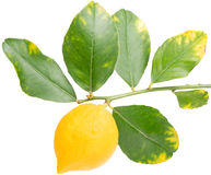 Lemon on a branch Royalty Free Stock Photos