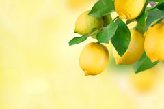 Lemon bunch with space for text Stock Images