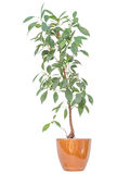 Lemon bush tree stock photo