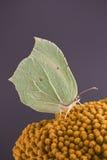 Lemon butterfly Royalty Free Stock Photo