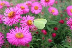 Lemon butterfly on an aster royalty free stock image