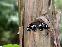 Lemon butterfly - Papilio demoleus. On tree trunk. Stock Photos