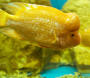Lemon cichlid Royalty Free Stock Image