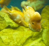 Lemon cichlid Stock Image