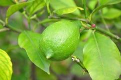 Lemon (Citrus limon). Colorful and crisp image of lemon (Citrus limon Royalty Free Stock Photography