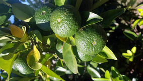Lemon. The lemon, Citrus limon L. Osbeck is a species of small evergreen tree in the flowering plant family Rutaceae, native to Asia Royalty Free Stock Photography