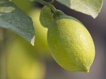 Lemon and citrus Stock Photo