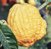 Lemon and citrus Royalty Free Stock Images