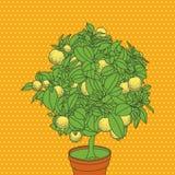 Lemon citrus tree vector illustration. Stock Photos