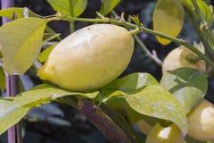 Lemon (Citrus x limon) Stock Images