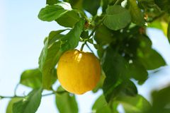 Lemon close up Royalty Free Stock Photos