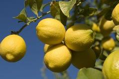Lemon Cluster. Cluster of ripe lemons on tree against blue sky Stock Image