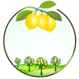 Lemon cultivation Stock Photography
