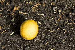 Lemon dropped from the plant. Yellouw lemon dropped from the plant backround Stock Images