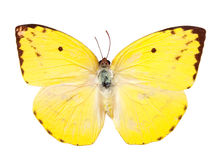 Lemon Emigrant butterfly Royalty Free Stock Photos