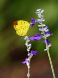Lemon Emigrant butterfly. Royalty Free Stock Image