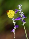 Lemon Emigrant Butterfly. Royalty Free Stock Image