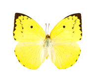 Lemon Emigrant butterfly (Catopsilia pomona). Royalty Free Stock Photo