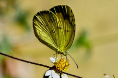 Lemon Emigrant butterfly Stock Photos
