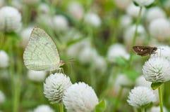 Lemon Emigrant butterfly Stock Photography