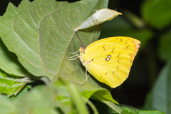 Lemon Emigrant butterfly Stock Images