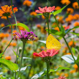 Lemon Emigrant butterfly in nature Stock Photo