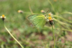 The lemon emigrant butterfly Stock Photos