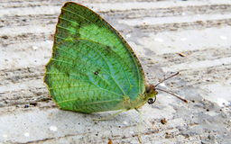 Lemon emigrant butterfly Royalty Free Stock Photo