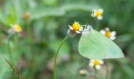 Lemon emigrant butterflyclose up Royalty Free Stock Images