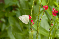 Lemon Emigrant Form-crocale butterfly Royalty Free Stock Photo