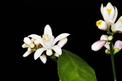 Lemon flower(柠檬花) royalty free stock images