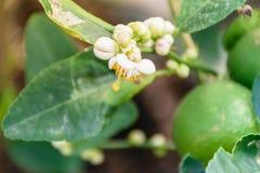 Lemon flower Royalty Free Stock Photo