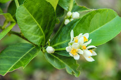 Lemon flower. Close up white lemon bud flower and lemon leaves Stock Images