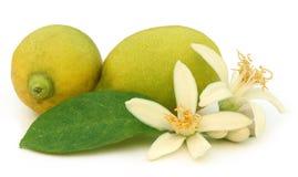 Lemon flower Royalty Free Stock Image