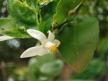 Lemon flower macro shot well focused with green leaves stock photo