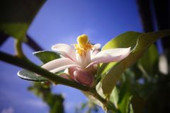 Lemon flower. This is a most beautiful moment of a lemon tree Stock Images